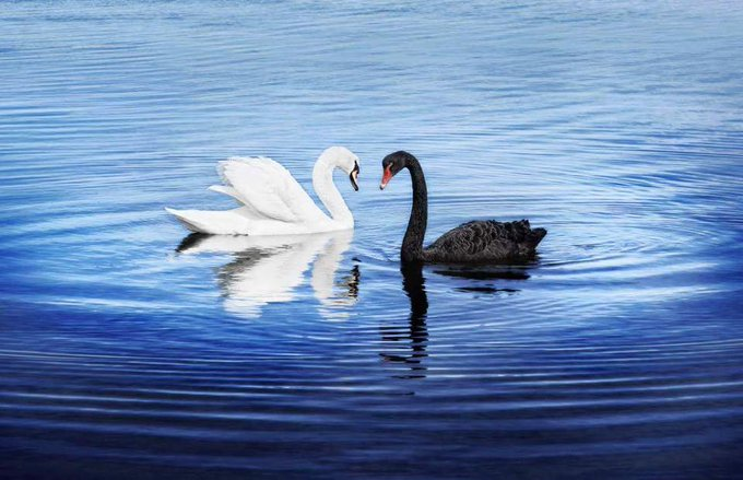 RT @9NewsPerth: A white swan was spotted with with beautiful black swans opposite South Tce in South Perth (Instagram/lynettespicz) https:/…