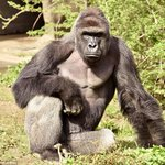 RIP Harambe. A magnificent gorilla dies because  a zoo failed to make its barriers safe.  https://t.co/E5682u7SsL https://t.co/dCwNKLIKJ1