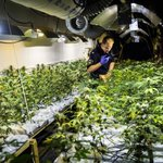 Uit nieuw onderzoek blijkt: We mogen cannabis WEL reguleren Licht staat op groen voor Kamer! https://t.co/ThSb2Gn6Ax https://t.co/2ntKpnfuJo