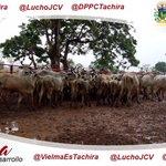 Desde Fernández Feo @VielmaEsTachira APOYA al sector AGRÍCOLA de la tierras tachirenses #TachiraInversionYDesarrollo https://t.co/0DKLAlTvut