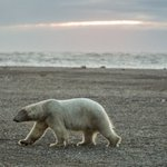 Beaufort Sea polar bears are spending more time ashore. And it may be a wise move