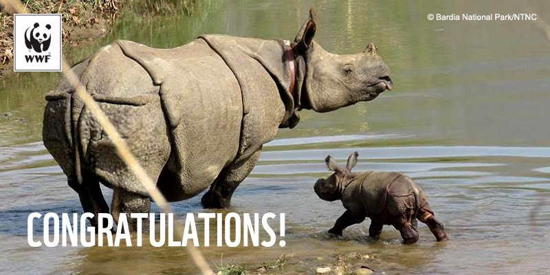RT @WWF: Nepal's Bardia National Park has welcomed its youngest one-horned #rhino. https://t.co/kQohTXbsuv https://t.co/eleHcZNHjY
