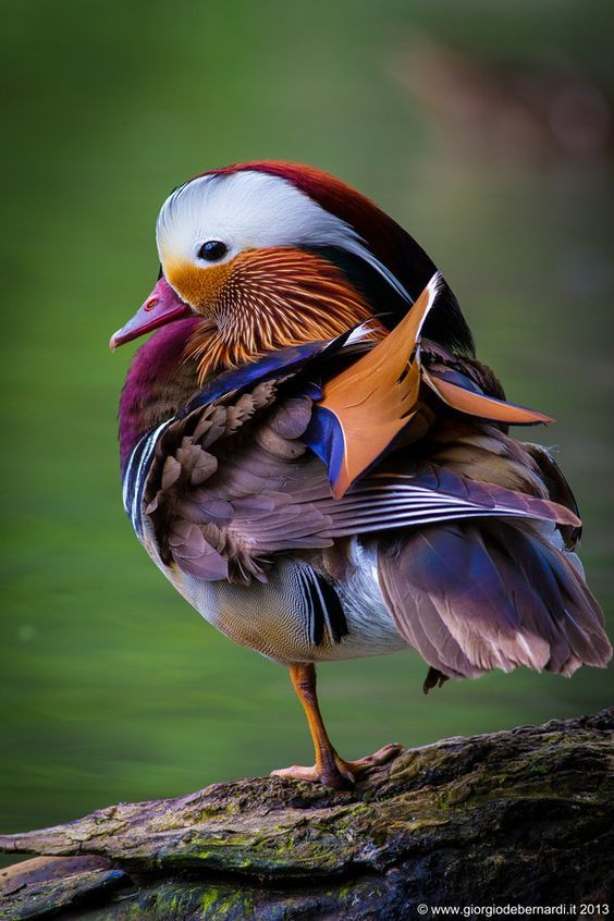 Wildlife Treasures, Mandarin Duck | Photography by ©Giorgio Debernardi https://t.co/KZ6I55Wzrr
