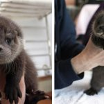 Cuteness overloaded! Baby Otters too otterable !! https://t.co/cMszMmAVUd https://t.co/2aRduqMS4Z