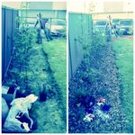 Heres a before & after of a recent mulching job! #mulching #perthisok #perth #wa #gardening #armadale #thornlie https://t.co/mgPoLSlMqY