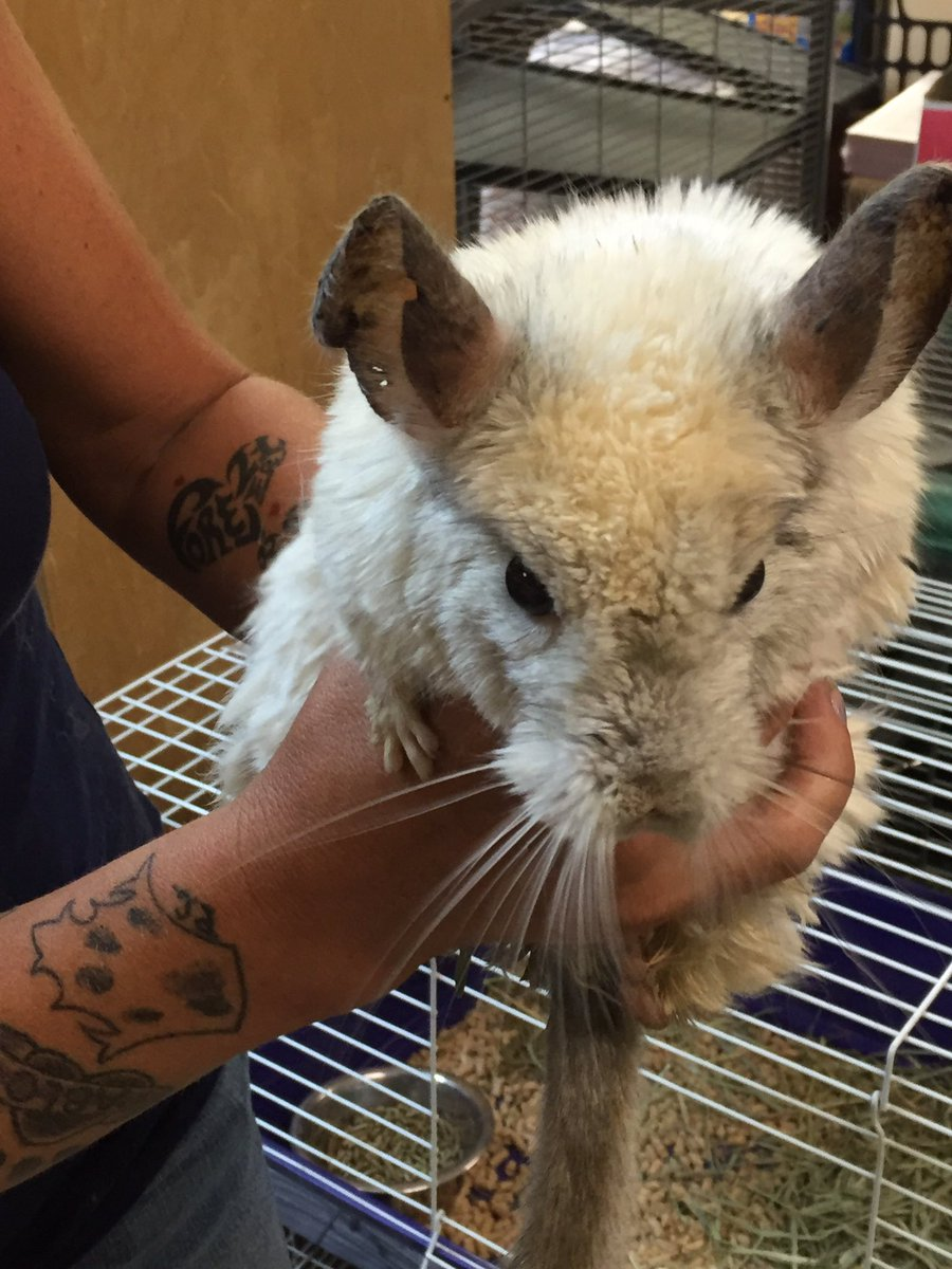 More than 20 chinchillas rescued by @NevadaSPCA. Had the chance to visit with them yesterday. Need homes. https://t.co/7AZnze0P1C