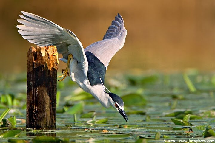 Black-crowned night heron  RT @RahilaAli2: