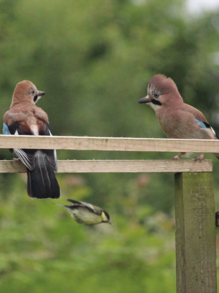 Young Jays  - so comical @wildlife_uk @PixofNature_ @NatureUK @BritBirdLovers https://t.co/0YKlsYEpQt