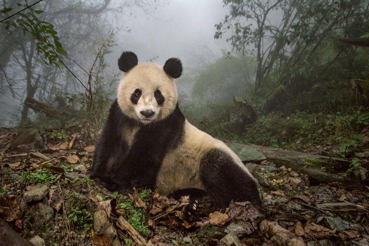 マジです!真剣です!ナショジオカメラマン撮影超困難の野生のパンダの姿を収めるためパンダのおしっこを染…