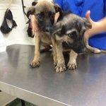 Por favor ayudennos a difundir para buscarle adoptantes a estas cachorritas. 3 meses, sanitas. #Caracas #SOS https://t.co/I19inoohh7