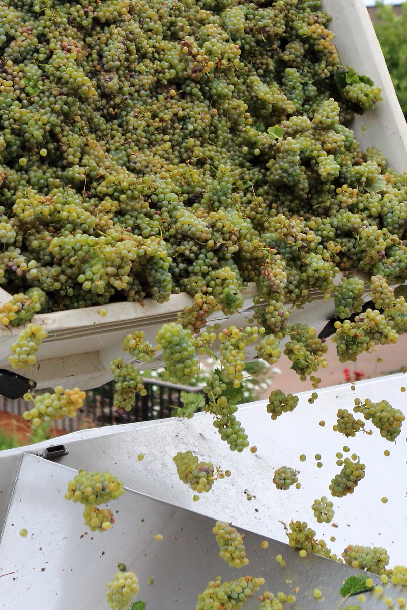 First day of #napaharvest 2016. #cakebreadcellars #sauvignonblanc https://t.co/r1WejsJnsx