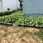 """Bokwang Noh grows many veggies on the lawn of his #Halifax home. His """"Korean Sticky Corn"""" plants have grown to 8ft! https://t.co/nXvVZoqzFS"""