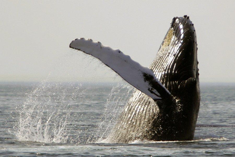A whale of a success story: Humpbacks exit endangered species list:  https://t.co/11OvQbVN08 https://t.co/M0VhTVxr1y