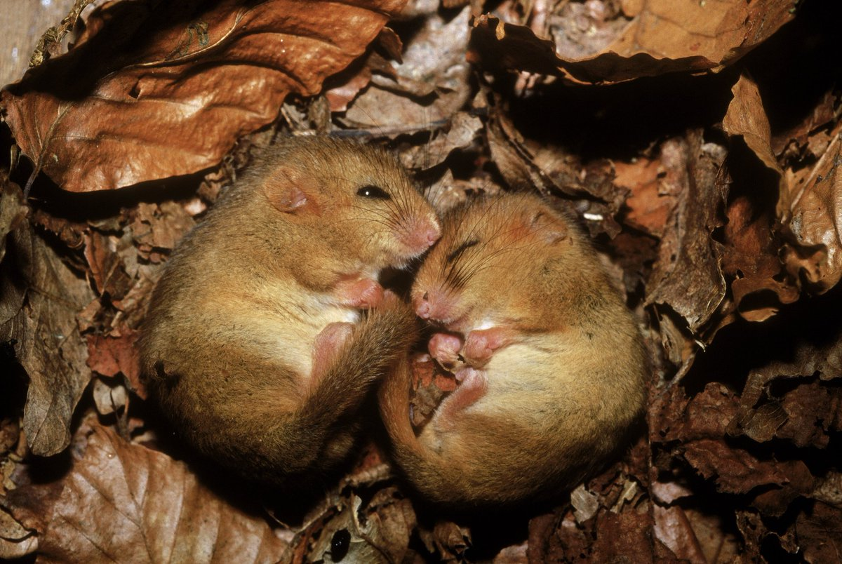 Hazel #dormice numbers down by a third since 2000 and at risk of extinction, finds report: https://t.co/8NFNK2ImdZ https://t.co/5l6vDSUpB0