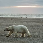Turns out it was the bears, not the scientists, trapped on a Russian island