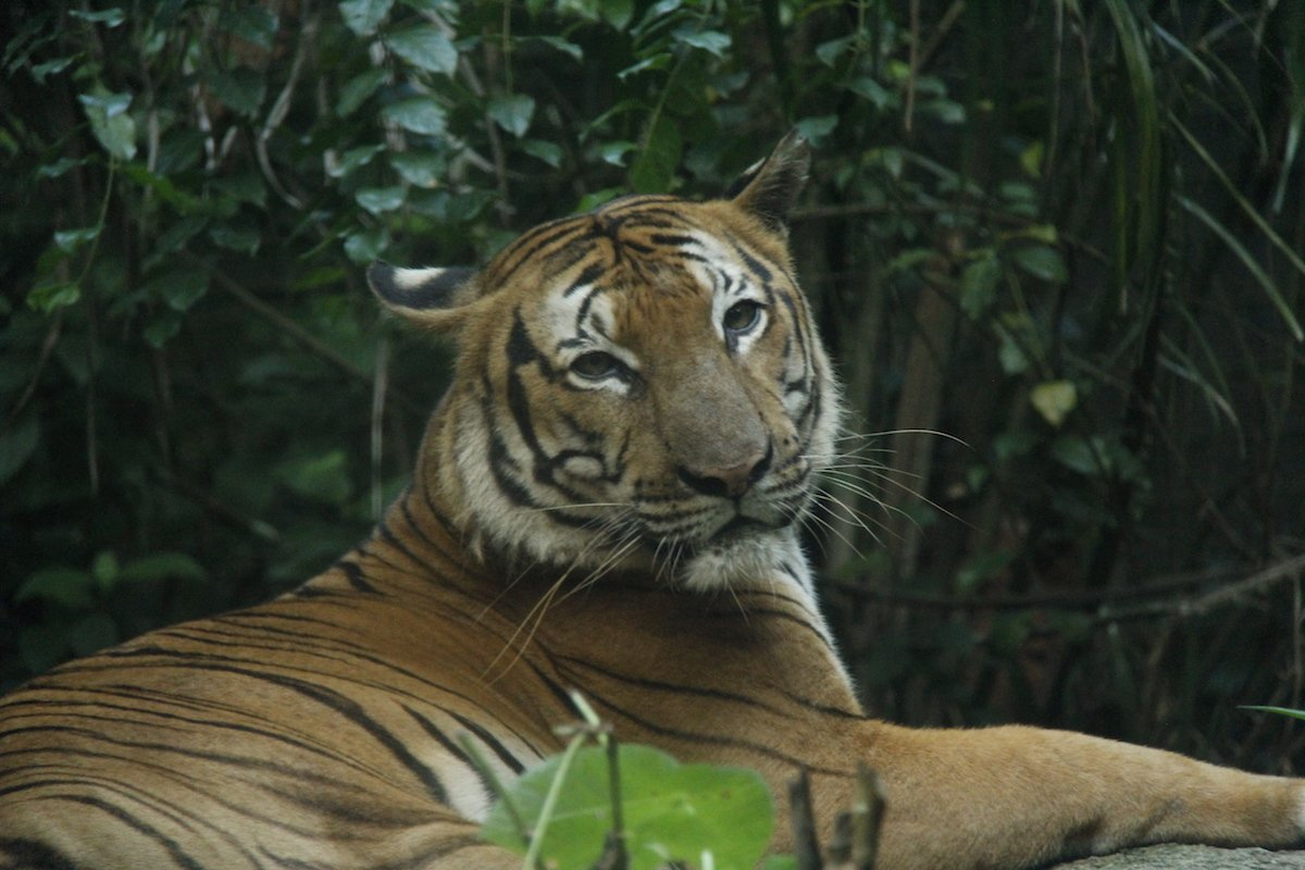 Hunting & habitat loss led to only 250 - 380 Malayan #tigers left in the wild. RT to spread the word. #NightSafari https://t.co/Axx2K7JTDV