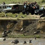 Mara wildebeest migration spectacle set for live online streaming