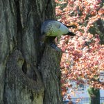 Birds seen in Canberra trees (occasional series) #cbr https://t.co/NW9aEjPxA8