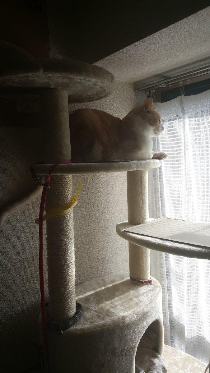 高いところ登ってくれると、キャットタワー買って良かったなと思える https://t.co/fv4O0aw0ir