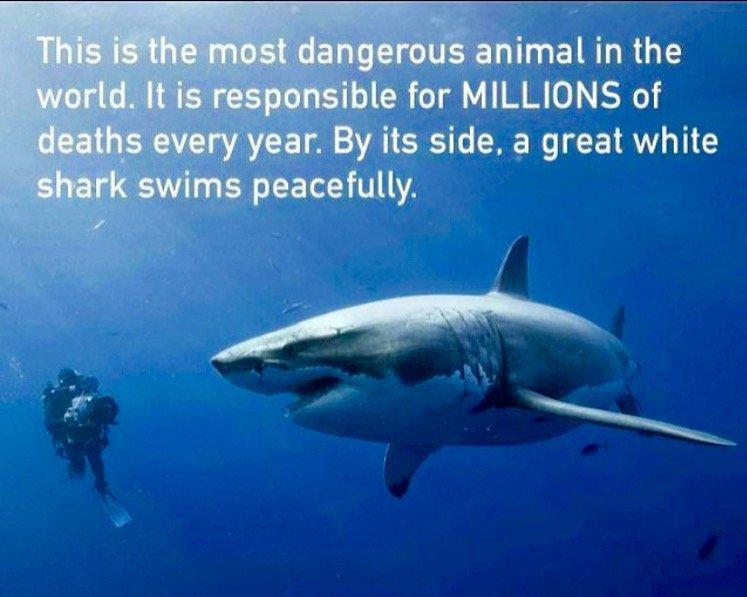 「これは世界で最も危険な動物で、毎年膨大な数の人間を殺しています。その動物の隣をホホジロザメがゆったりと泳いでいます。」 有名な画像だけどスゴイ好き。