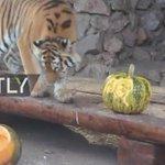 US election: Tiger tips Clinton, bear backs Trump in Siberian zoo's mock vote