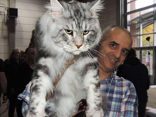 最大の猫「メインクーン」がどれだけ大きいのか実感できる写真いろいろ : らばQ https://t.co/uicy2S1hjF https://t.co/cF14pH7Rat