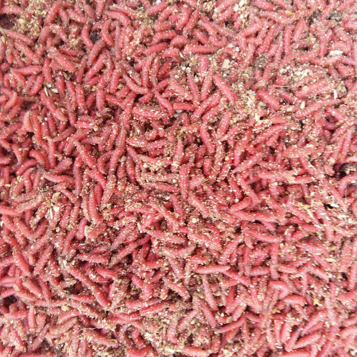 Fresh maggot, caster and worm, <b>Ready</b> for the weekend.... #RumBridgeFisheries #carpfishing #Su