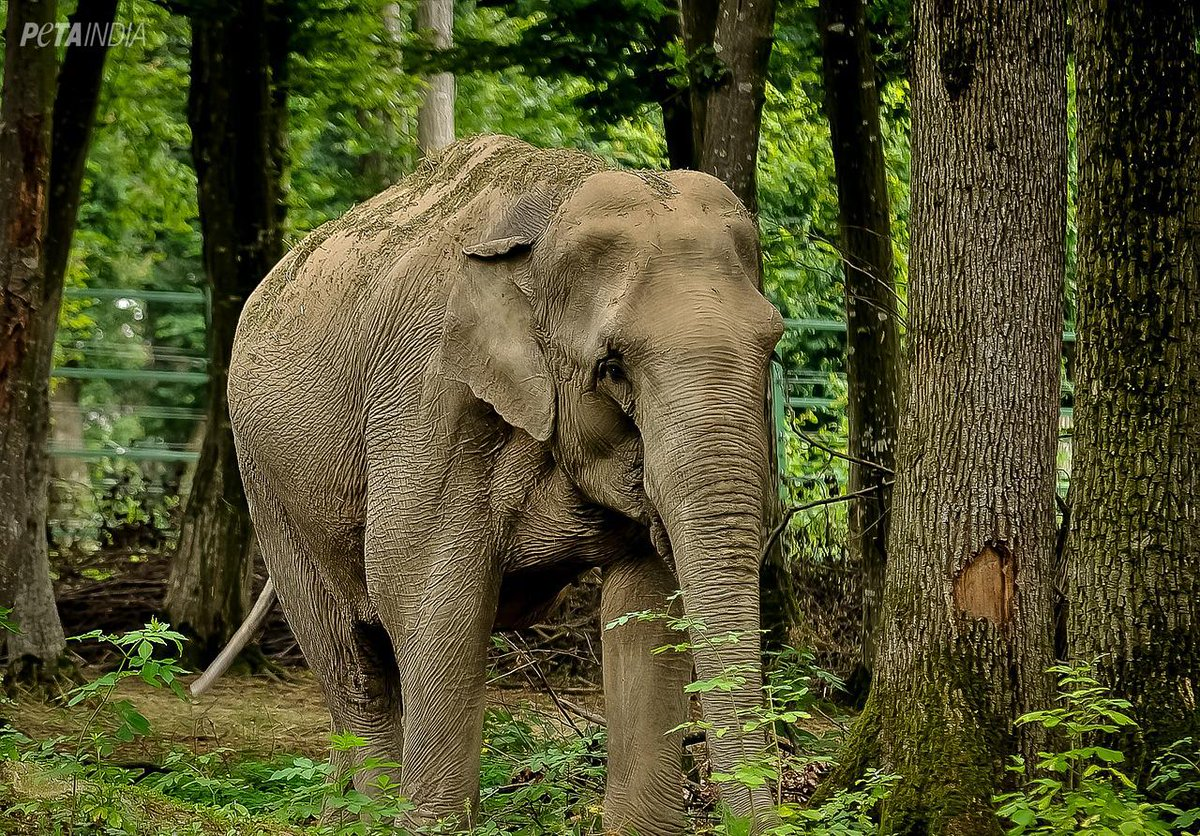 RT @PetaIndia: Elephants belong in the wild, not in chains. RT if you agree! https://t.co/Fv4rBdcceG