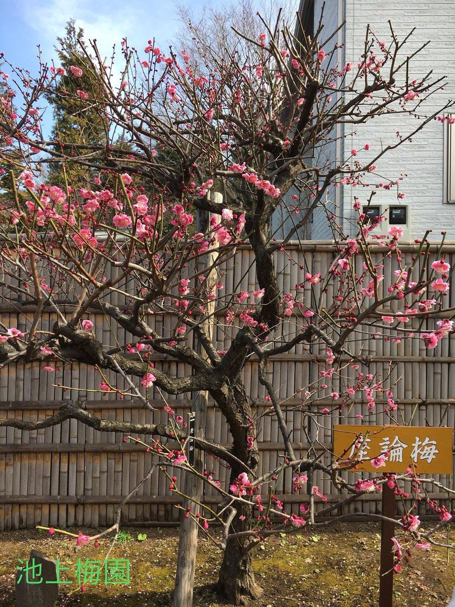 test ツイッターメディア - 「座論梅」は日本に4本のみ現存している希少種。 大田区在住の梅愛好家が中国から持ち帰り株分けして寄贈したもので、池上梅園と寄贈者の野々村氏の他に水戸偕楽園・深大寺植物公園に植栽されているそうです。 https://t.co/IxJb3bcfND