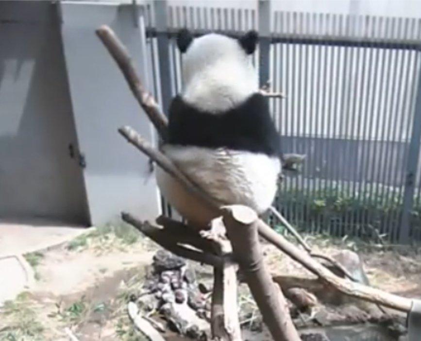 test ツイッターメディア - 今日はなかなかお顔見せてくれないスタイル😂😂笑  #シャンシャン #上野動物園ライブカメラより https://t.co/hYJyYS6VYG