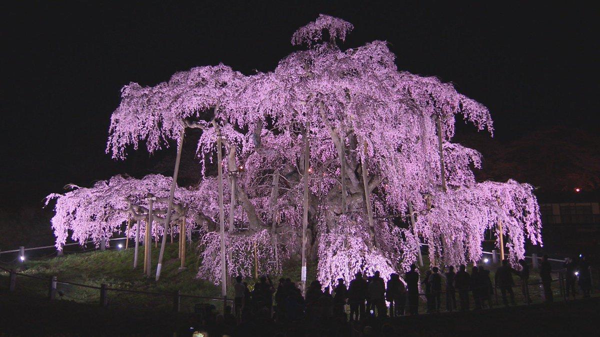 test ツイッターメディア - 今宵のバンキシャ!は… 福澤・夏目両キャスターがスタジオを飛び出して、福島・三春町から生中継! 樹齢1000年以上…いままさに見ごろを迎えている三春滝桜からお伝えします  ライトアップで夜空に浮かび上がる雄大な桜をたっぷりお見せします  #バンキシャ #福澤朗 #夏目三久 #三春滝桜 https://t.co/OLwZcvbLAf
