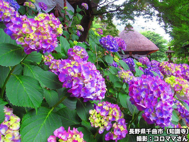 test ツイッターメディア - 【雨の季節の醍醐味 フォトジェニックなあじさい絶景】雨が降っても降らなくても佇むように咲き誇る紫陽花はこの時期の醍醐味です。各地の紫陽花の便りをご紹介します。  https://t.co/IDvngYZilY https://t.co/TTHnn8OEX0