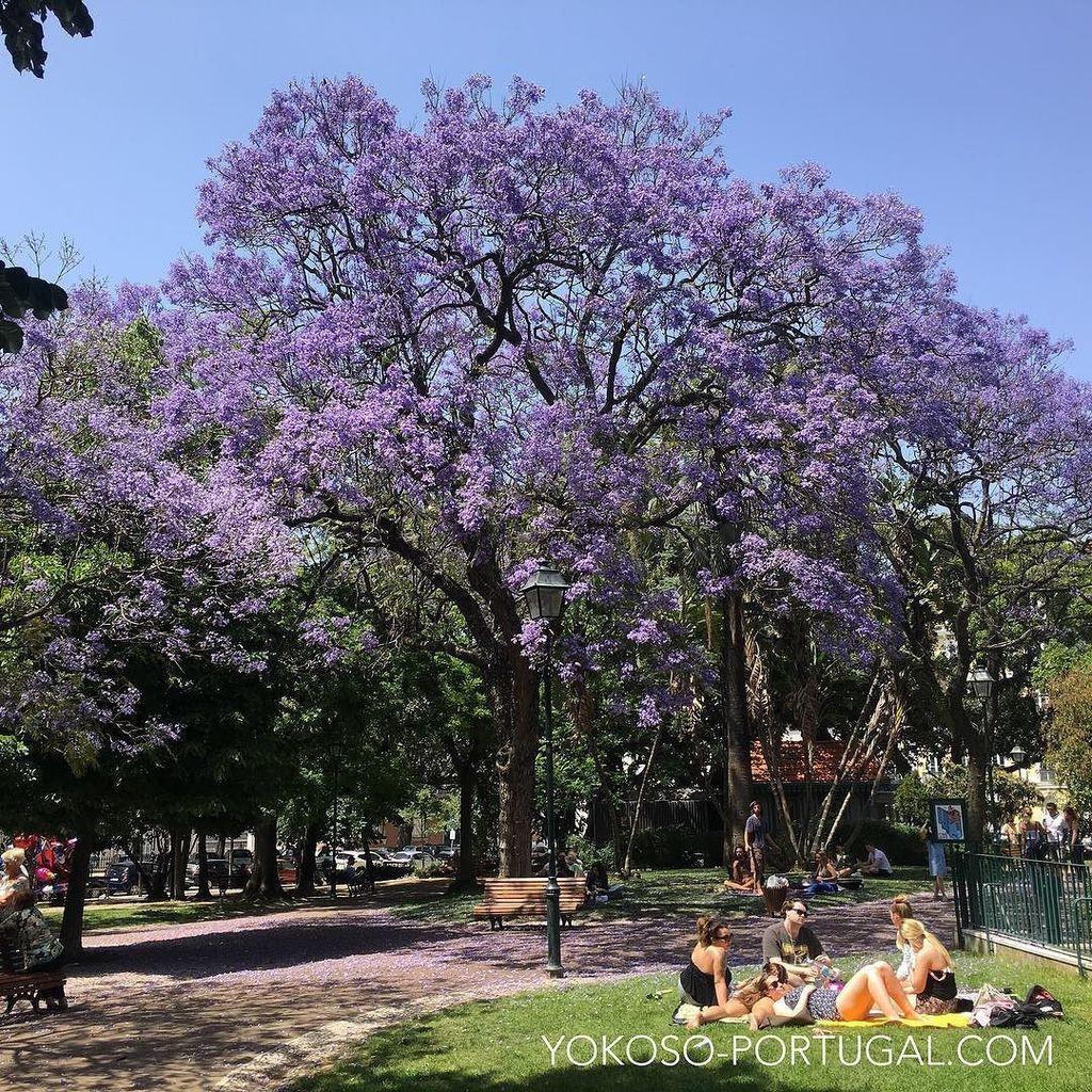 test ツイッターメディア - リスボン、プリンシペ・レアル広場のジャカランダ。 #リスボン #ポルトガル https://t.co/0bj30QUchf