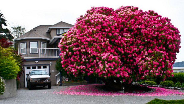 Small Canadian town hopes giant rhododendron bush will bring tourists