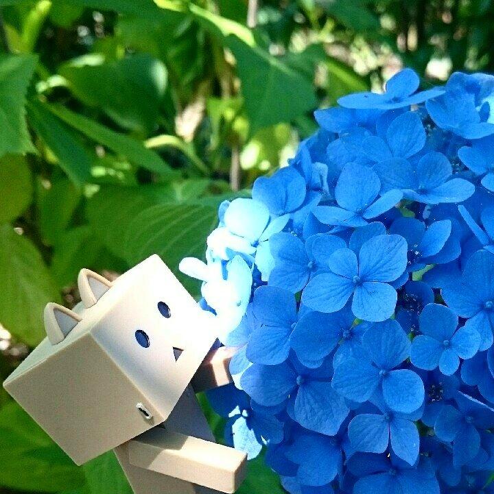やっと梅雨らしくなりました#ダンボー#にゃんぼー#ニャンボー#ダボニャ#danbo#nyanbo#dabonya#紫陽花