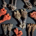 Indian man arrested for selling lizard penises as tantric root plants
