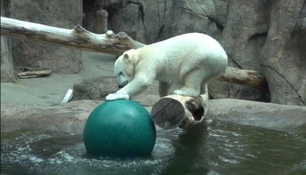 Polar bear can't quite catch her toy ball but we're all rooting for her