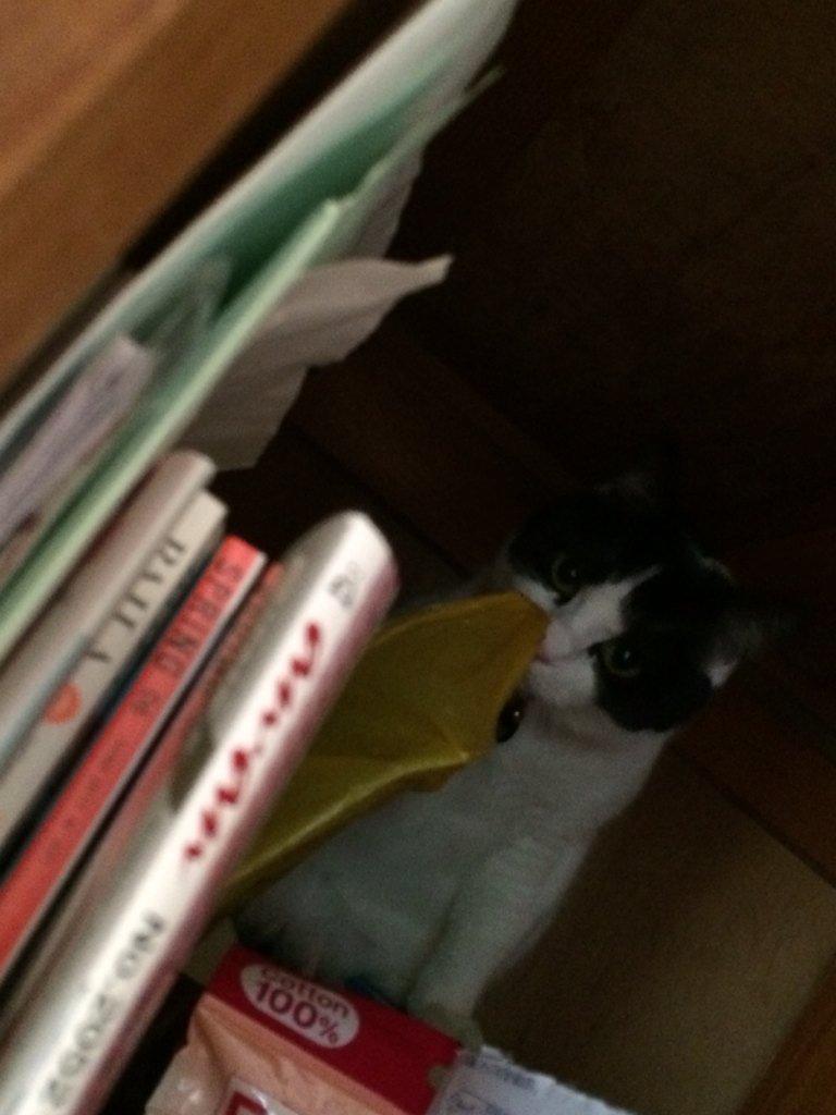 押し入れにて。ドラえもんごっこですか??    #猫 #白黒 #はちわれ #牛猫