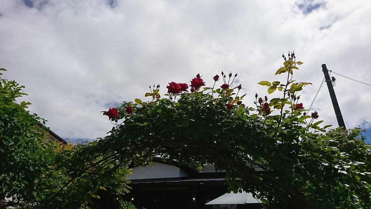 天体のメソッド・望羊蹄クリアファイル第2弾のアーチのバラの花が咲いてきたよ!