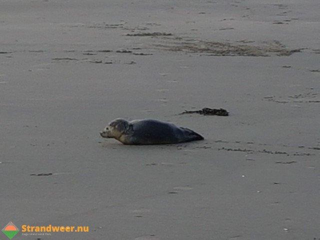 Zes zeezoogdieren aangetroffen op het strand https://t.co/eRfs4W2ua6 https://t.co/2TWBClrQKL
