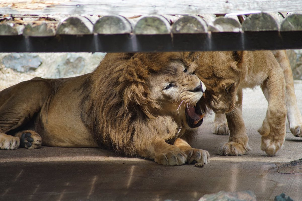 オトさんにスリスリされると、時々全力で怒るハヤテさん。でもオトさんは、1ミリも恐がってません。良い夫婦だなぁ。#猫 #猫