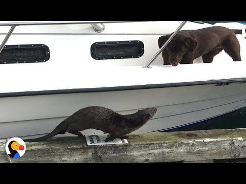 Friendly Otter Wants To Play With Dogs SOBADLY https://t.co/MrEHxDyO7s https://t.co/ZY4HtHPTIS