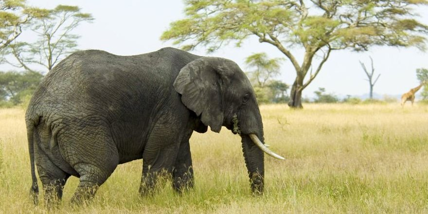 test Twitter Media - ICYMI elephants have a lower cancer risk than humans because they have 19 extra copies of the tumour suppressor TP53 https://t.co/Z5I1H25pRh https://t.co/lMAQEGHDO6