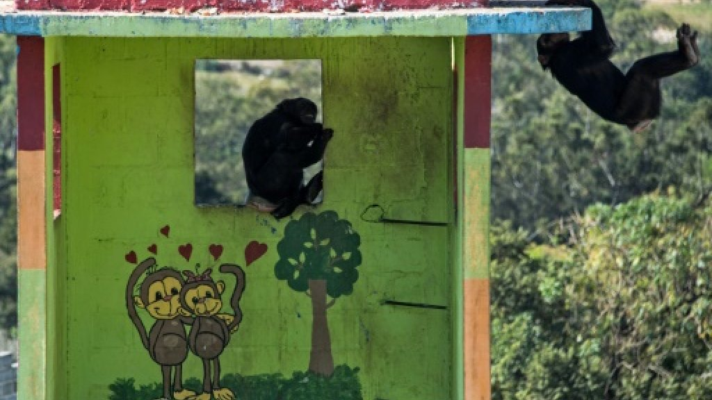 Love beckons for recovering chimp in Brazil refuge