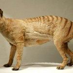 Drought not dingos behind mainland Australia tiger extinction