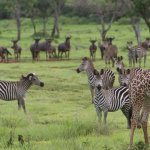 Wildlife census begins in Selous and Mikumi ecosystem