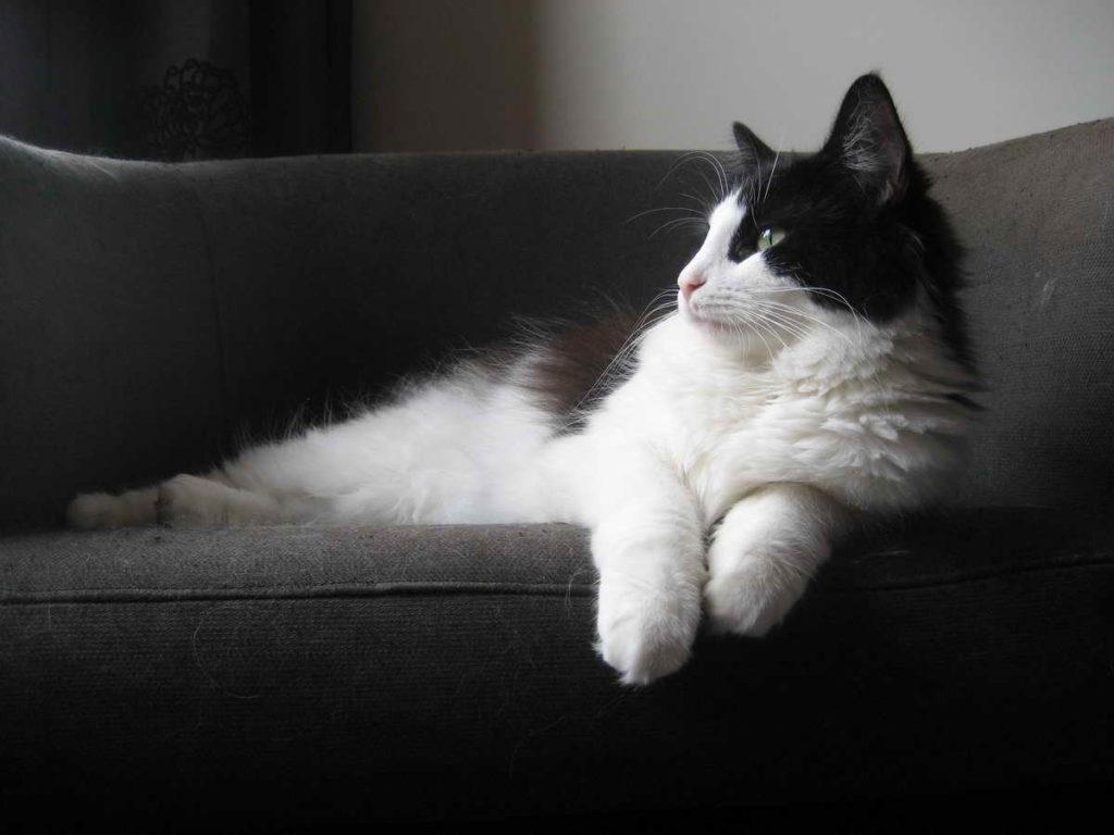 Turkish van cat black and white