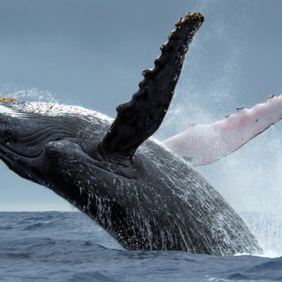 Drones Let Scientists Get Inside Humpback Whale Blowholes