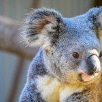 Diprotodon: Giant Prehistoric Koala Once Roamed Australia As Continent's Only Seasonal Migratory Animal