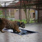 Tigers from war-torn Aleppo settle into new Dutch home